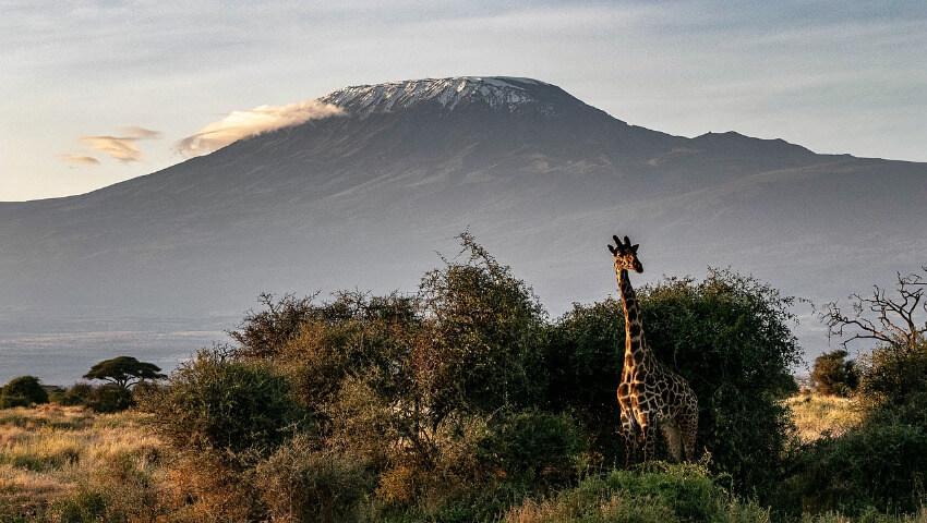 Eine Giraffe in der Wildnis und der mit leicht Schnee bedeckte Kilimandscharo im Hintergrund.