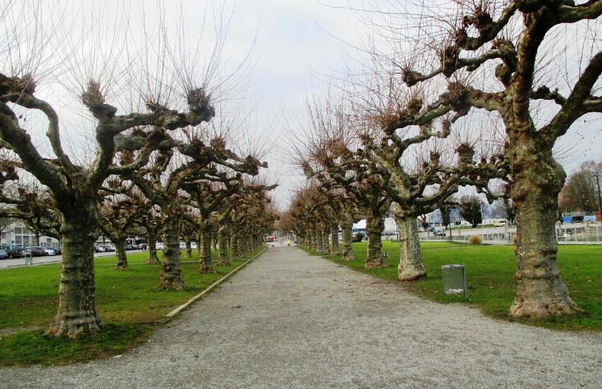 Ein Weg wo links und rechts eine Allee mit Platane Bäume steht