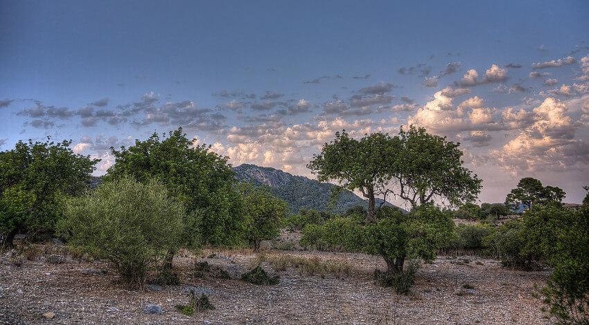 Olivenbäume in den Bergen von Mallorca.
