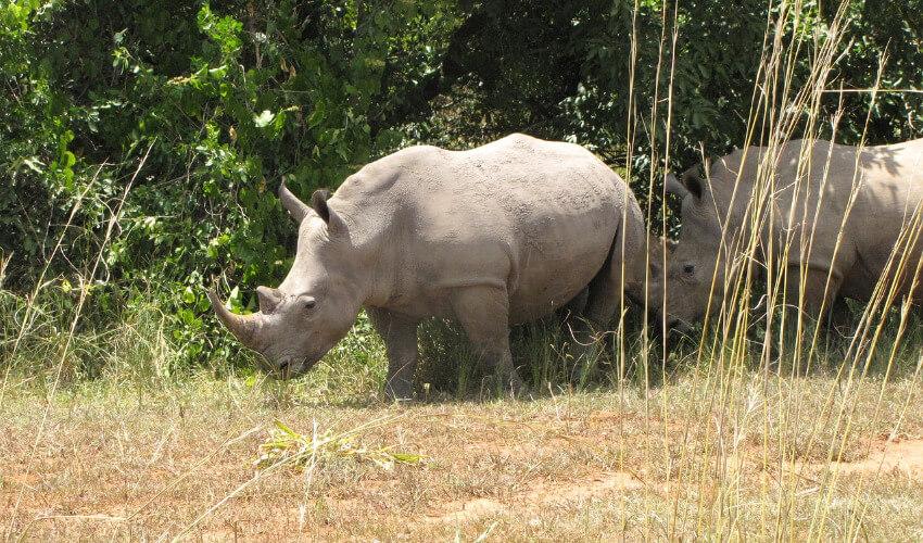 Zwei Nashörner unterwegs in der Steppe Ugandas.