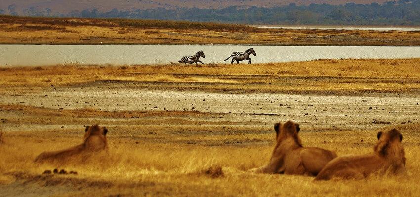 Drei Löwen beobachten 2 Zebras an einer Wasserstelle.